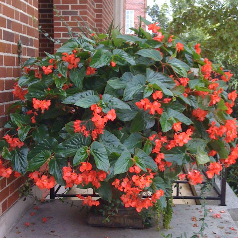 Begonia Dragon Rouge