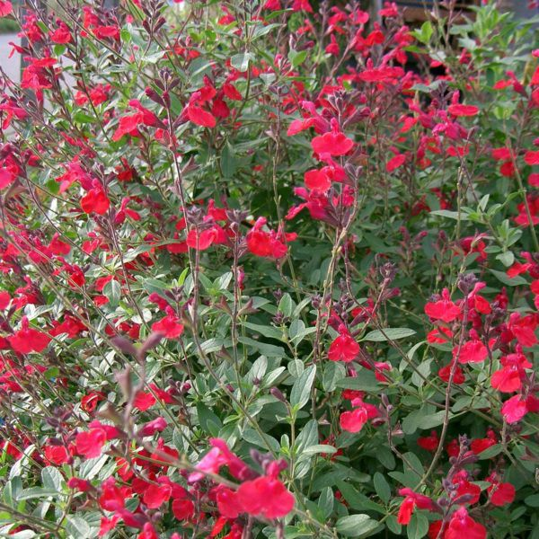 Salvia Grahamii Rouge